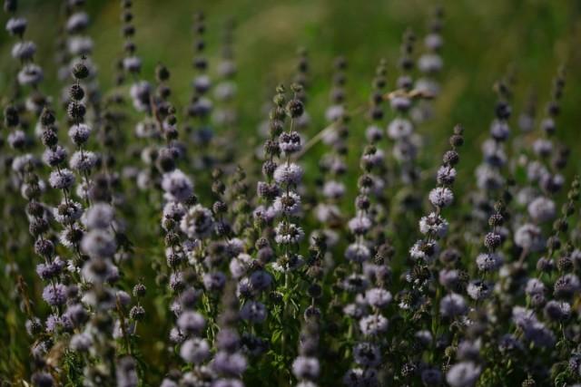 Растения, которые отпугивают комаров и мошек с участка