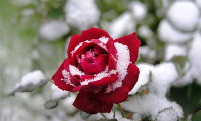Как утеплить цветы в саду перед зимой